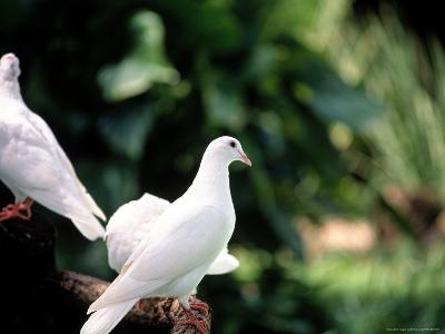 Doves-Bill Romerhaus-Photographic Print
