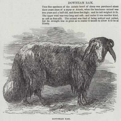 Downham Ram--Giclee Print