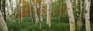 Downy Birch (Betula Pubescens) Trees in a Forest, Wild Gardens of Acadia, Acadia National Park