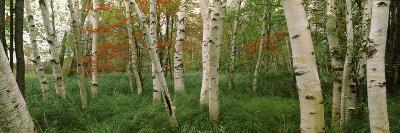 Downy Birch (Betula Pubescens) Trees in a Forest, Wild Gardens of Acadia, Acadia National Park--Photographic Print