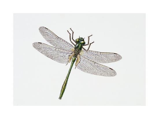 Downy Emerald Dragonfly (Cordulia Aenea), Corduliidae. Artwork by Sandra Pond--Giclee Print