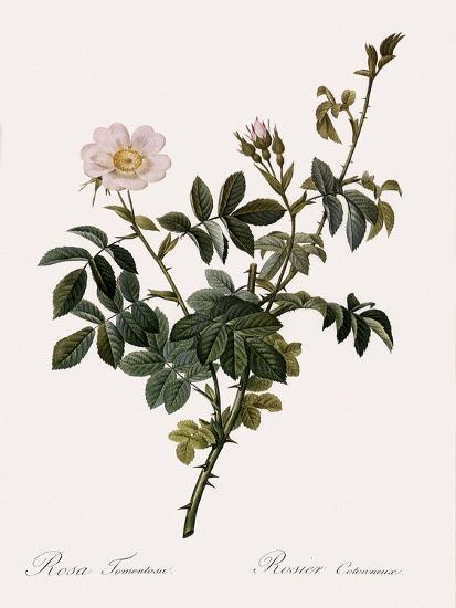 Downy Rose-Pierre Joseph Redoute-Giclee Print