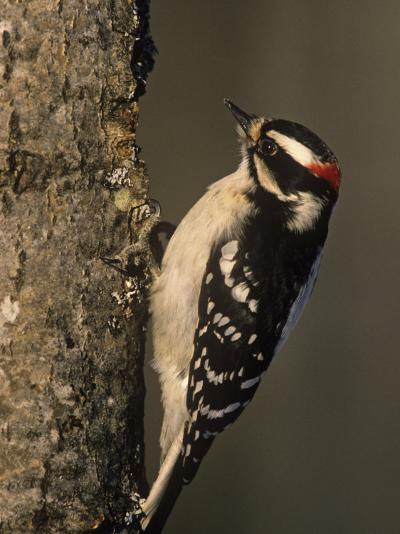 Downy Woodpecker at its Nest Hole in a Tree, Picoides Pubescens, Michigan, USA-John & Barbara Gerlach-Photographic Print