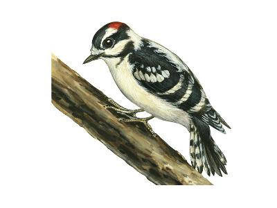 Downy Woodpecker (Dendrocopus Pubescens), Birds-Encyclopaedia Britannica-Art Print