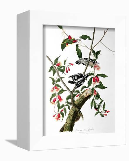 "Downy Woodpecker, from ""Birds of America""-John James Audubon-Framed Premier Image Canvas"