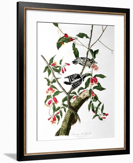 "Downy Woodpecker, from ""Birds of America""-John James Audubon-Framed Premium Giclee Print"