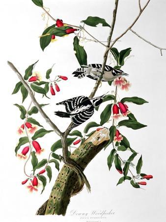 https://imgc.artprintimages.com/img/print/downy-woodpecker-from-birds-of-america_u-l-oed0j0.jpg?artPerspective=n