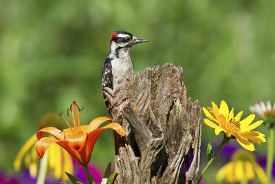 Downy Woodpecker Male on Snag , Marion, Illinois, Usa-Richard ans Susan Day-Photographic Print