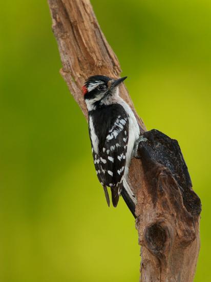 Downy Woodpecker-Adam Jones-Photographic Print