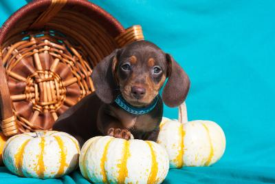 Doxen Puppy Posing-Zandria Muench Beraldo-Photographic Print