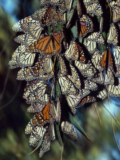 Dozens of Monarch Butterflies Perch on Blades of Grass-Jeff Foott-Photographic Print