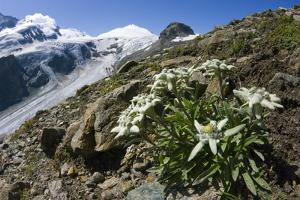 Edelweiss And Glacier by Dr. Juerg Alean