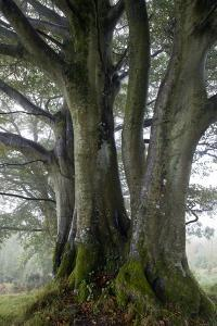 Beech Trees by Dr. Keith