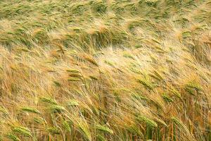 Barley by Dr. Keith Wheeler