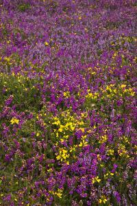 Bell Heather (Erica Cinerea) by Dr. Keith Wheeler