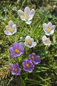 Crocus Sp by Dr. Keith Wheeler
