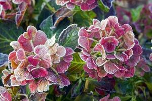 Hydrangea Sp by Dr. Keith Wheeler