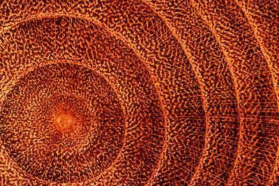 Laburnum Tree Trunk Growth Rings