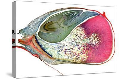 Maize Niblet, Light Micrograph