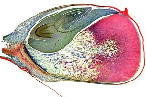 Maize Niblet, Light Micrograph by Dr. Keith Wheeler