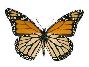 Monarch Butterfly by Dr. Keith Wheeler