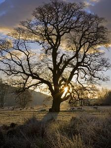 Oak Tree (Quercus Sp.) In Winter by Dr. Keith Wheeler