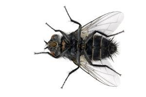 Parasitic Fly by Dr. Keith Wheeler