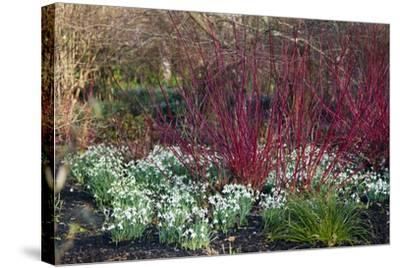 Snowdrop Flowers Under Common Dogwood