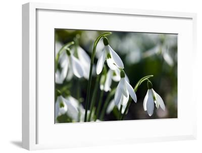 Snowdrop (Galanthus Sp.)