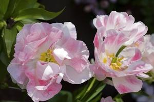 Tulip (Tulipa Sp.) by Dr. Keith Wheeler