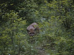 A Mountain Lion (Felis Concolor) Prowls Through the Brush by Dr^ Maurice G^ Hornocker