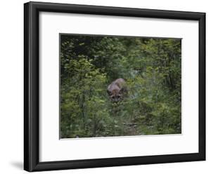 A Mountain Lion (Felis Concolor) Prowls Through the Brush by Dr^ Maurice G^ Hornocker