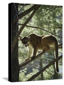 Backlit Mountain Lion Stands on a Pine Branch by Dr^ Maurice G^ Hornocker