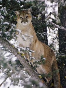 Beautiful Shot of a Mountain Lion in a Snowy Tree by Dr^ Maurice G^ Hornocker