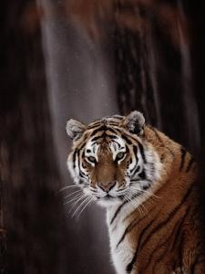 Siberian Tiger (Panthera Tigris Altaica) by Dr. Maurice G. Hornocker