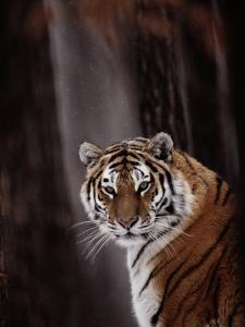 Siberian Tiger (Panthera Tigris Altaica) by Dr. Maurice G. Hornocker