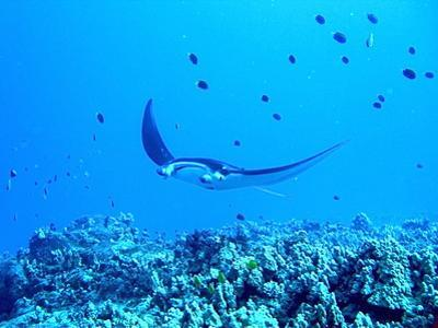 Manta Ray by Dr Peter M Forster