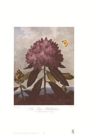 The Pontic Rhododendron