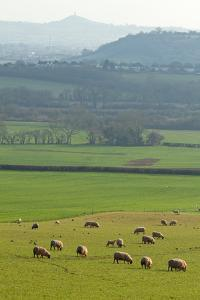 Herd of Sheep Grazing on Grass by Dr T J Martin