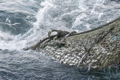 Dragger Net Full of Haddock (Melanogrammus Aeglefinus)-Jeff Rotman-Photographic Print