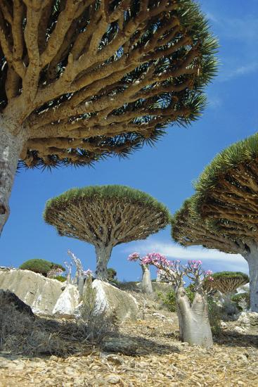 Dragon's Blood Trees-Diccon Alexander-Photographic Print