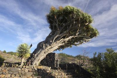 Dragon Tree, La Palma, Canary Islands, Spain, 2009-Peter Thompson-Photographic Print
