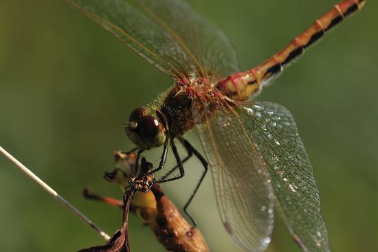 Dragonflies-Gordon Semmens-Photographic Print
