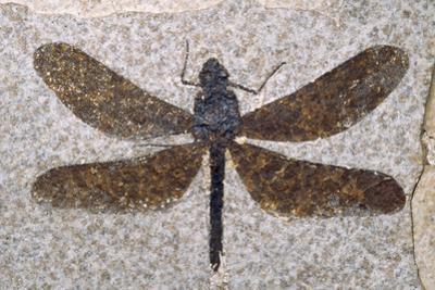 Dragonfly Fossil Eocene 53 MYA