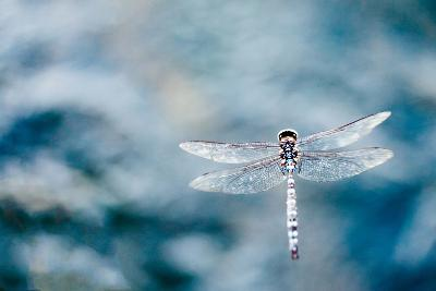 Dragonfly Hovering over Blue Water-James White-Photographic Print