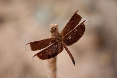 Dragonfly II-Erin Berzel-Photographic Print