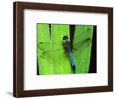 Dragonfly on a Leaf-Harold Wilion-Framed Photographic Print