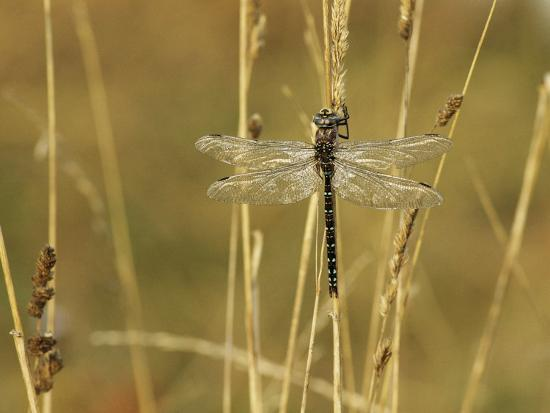 Dragonfly Perched on a Blade of Tan Grass-Klaus Nigge-Photographic Print