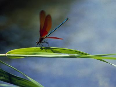 Dragonfly Perching on Grass--Photographic Print