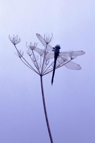 Dragonfly, Plant, [M-Herbert Kehrer-Photographic Print